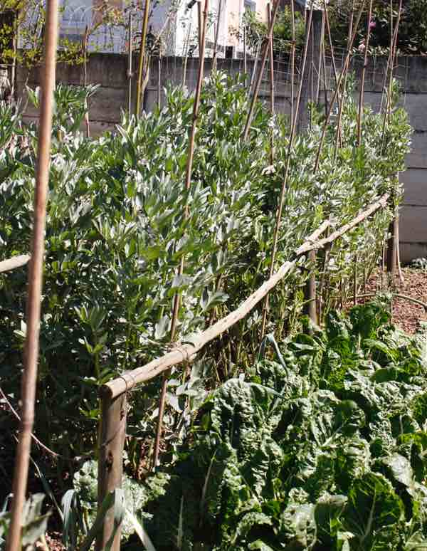 Tall staked broad beans