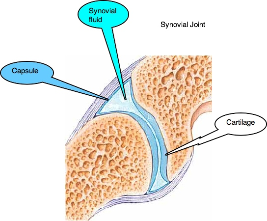 Synovial joints like those in the cervical spine are lined with hyaline cartilage that has no blood supply of its own.
