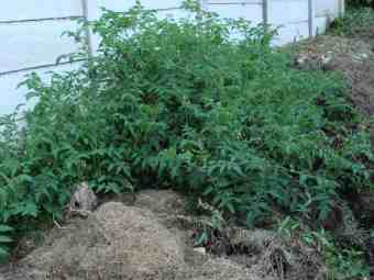 Tomatoes in the compost pile