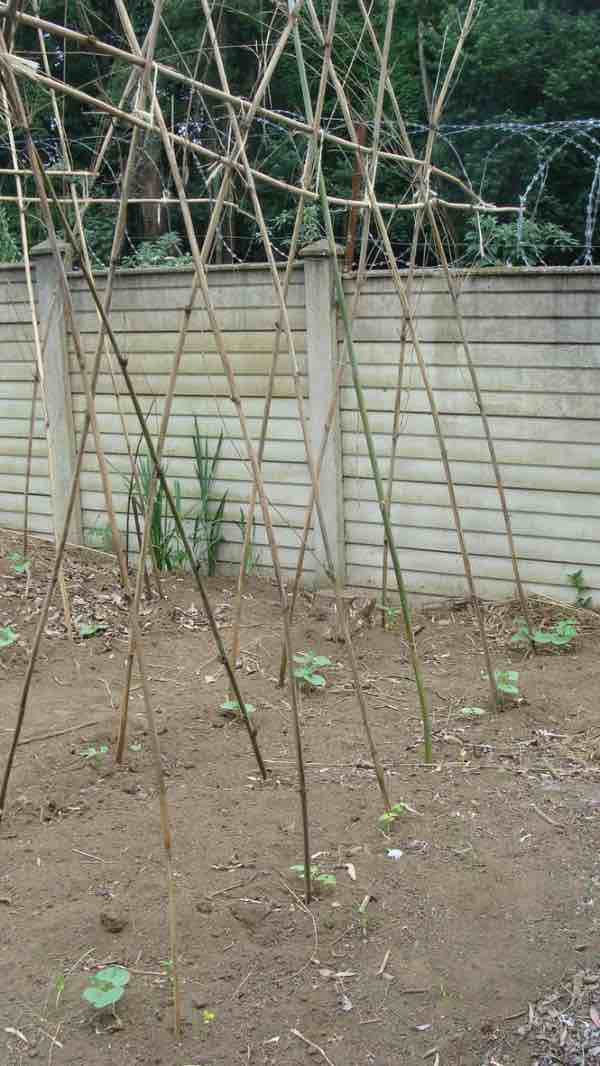 A vegetable garden trellis is excellent for growing and then cooking green beans.