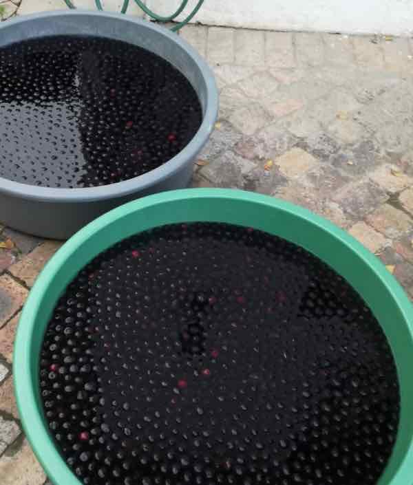 Washing 60 kg of olives in large tubs.