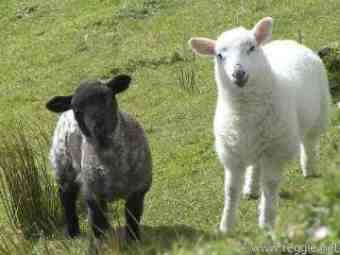 Two lambs that at about a year old will become mutton.