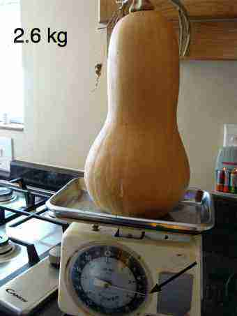 A ripe organic butternut like this is perfect for your soup.
