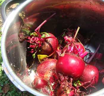 Beets in the pressure cooker.