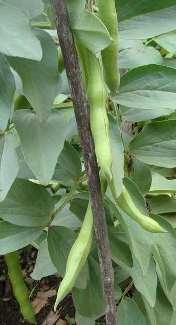 how to grow broad beans in cotton wool