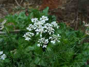 Growing coriander flowers from Bernie's garden