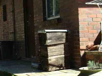 feral honey bees arriving