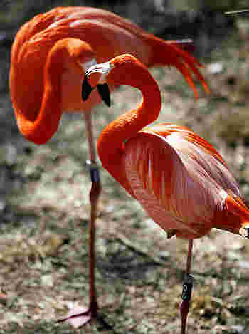 Flamingos demonstrating how the lonely road of faith sometimes means standing on one leg in the kingdom.