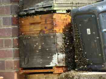 Swarming bees clustering on the old trap