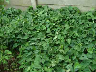 Sweet potato ground cover