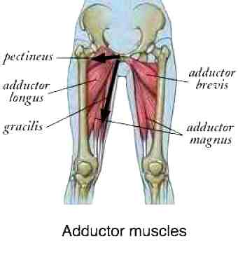 Adductor muscles radiation pattern
