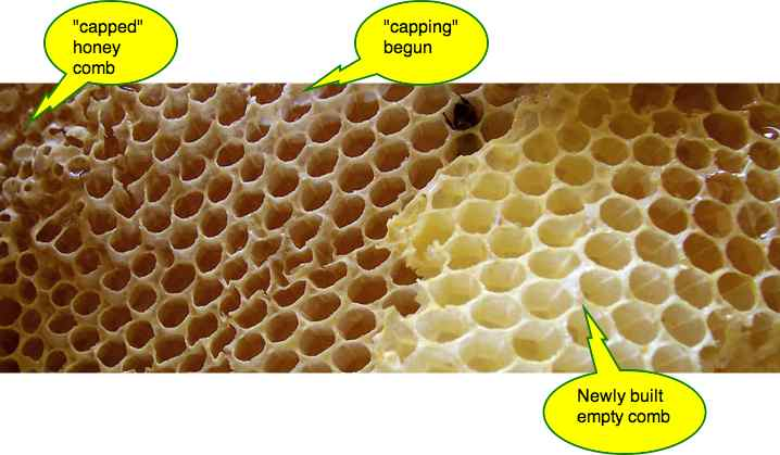 A piece of African honey bee comb showing the various stages of development.