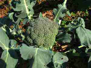 A beautiful broccoli head in the winter garden.