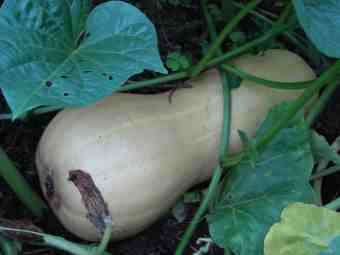 Butternut growing in the compost heap.