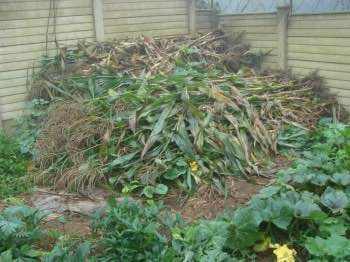 Corn stalks make wonderful compost for planting broad beans.