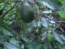 Avocados are rich in folate, vitamin B9.
