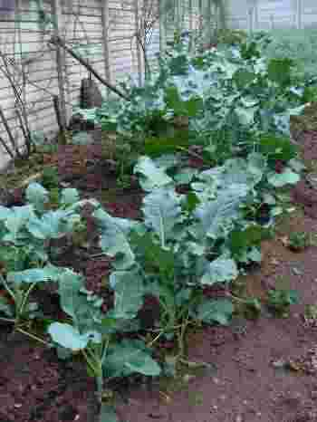 Medium sized plants at how to grow broccoli.