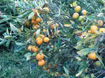 Mandarin orange showing a profusion of fruit, rich in vitamin C.