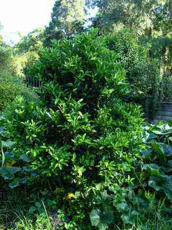 Mandarin orange tree sans fruit.