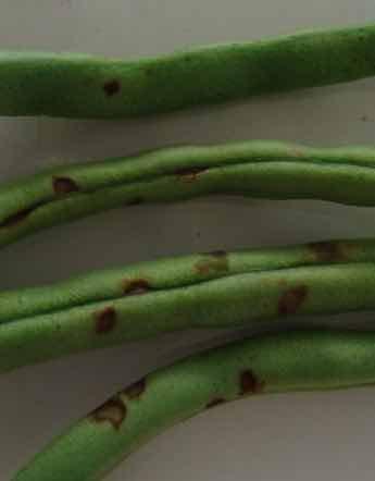 Mexican bean beetle fruit damage