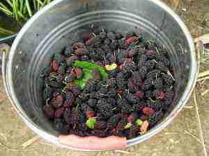 Purple power mulberries