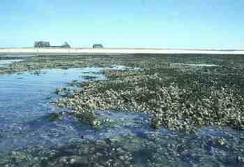 Mussel bank Wadden Sea