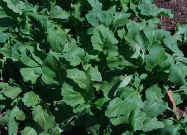 Nutrition of arugula also known as rocket