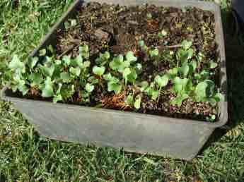 Planting broccoli seedlings