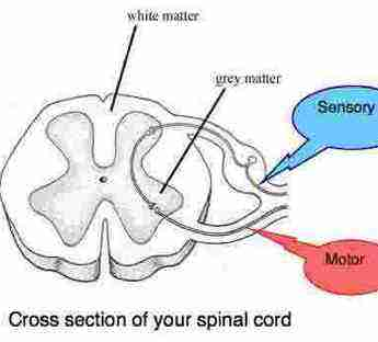 Two fibres enter the cord, one sensory and the other motor to the muscles and organs of the body.