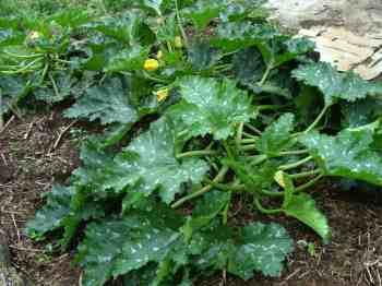 Half a dozen zucchini plants like this will supply all the beta-carotene you need.
