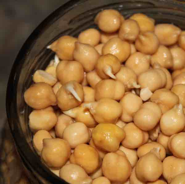 These sprouted chick peas are a great favourite of best chick food.