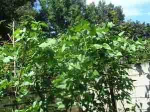 Lima bean plants