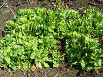 Growing lettuc is Bernard Preston's passion