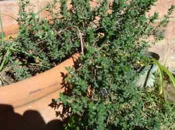 Thyme is a perennial herb.